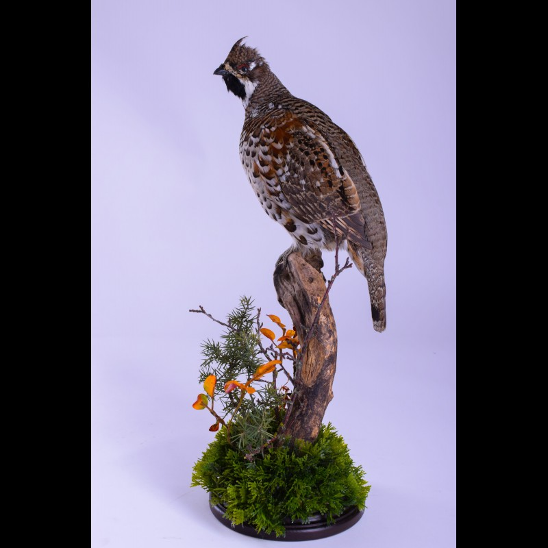 Hazel grouse Taxidermy Mount For Sale