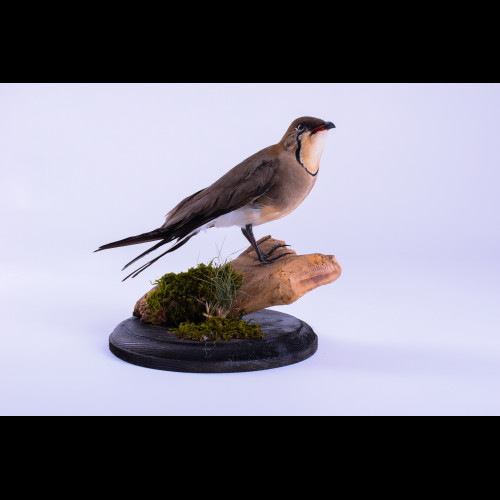 Pratincole Taxidermy Mount For Sale