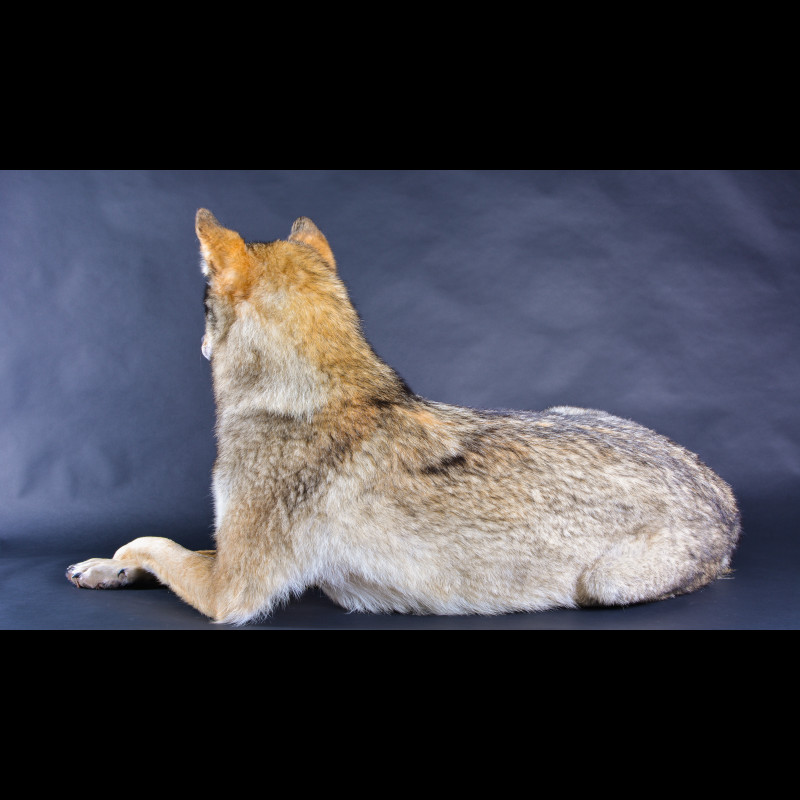 Wolf  Taxidermy Mount For Sale