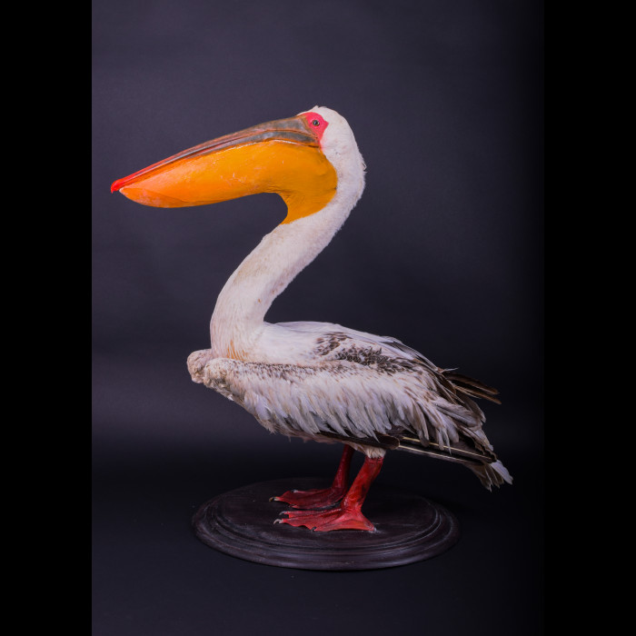 Pelican Taxidermy Mount For Sale