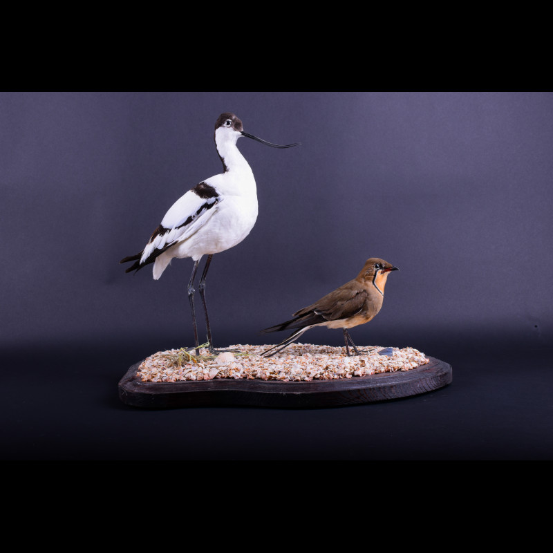 Pied avocet Taxidermy Mount For Sale
