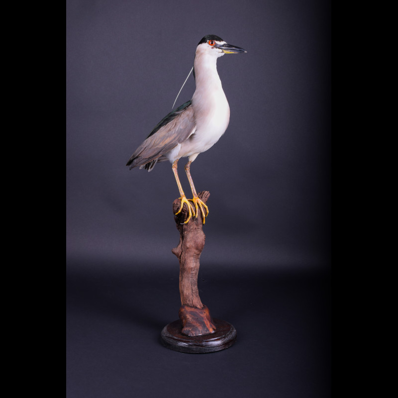Black-crowned night heron Taxidermy Mount For Sale