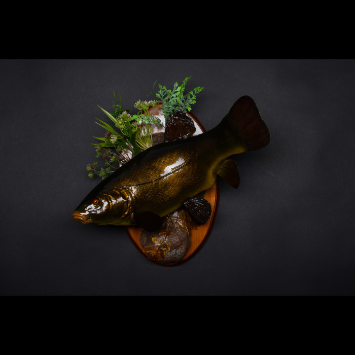 Carp Tench or doctor fish Taxidermy Mount For Sale