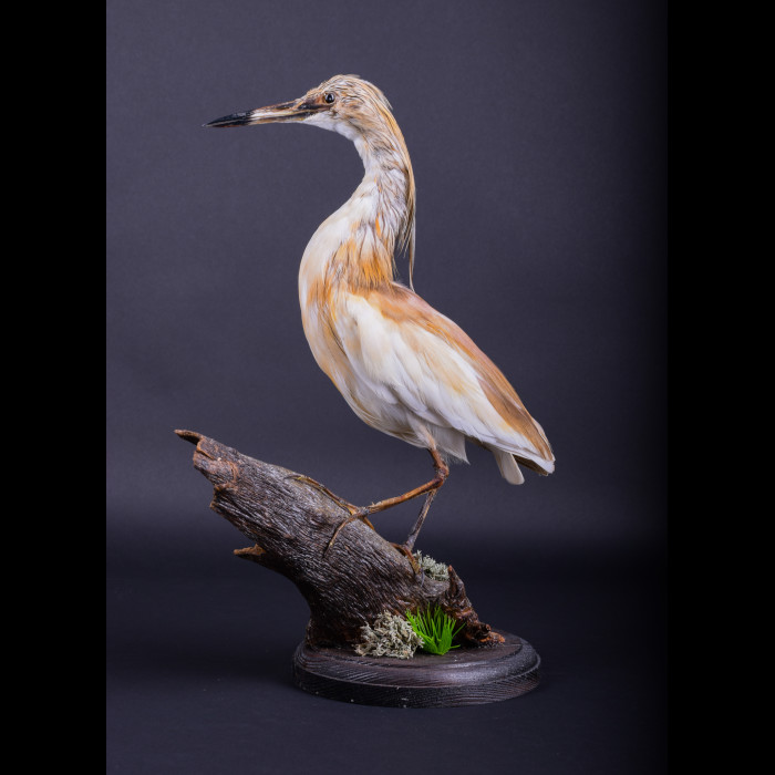 Cattle egret heron Taxidermy Mount For Sale