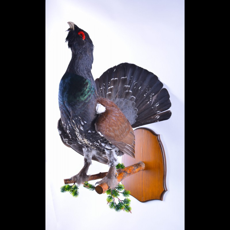 Capercaillie Taxidermy Mount For Sale