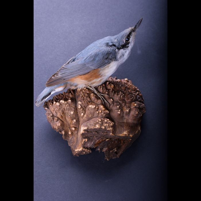 Nuthatch Taxidermy Mount For Sale
