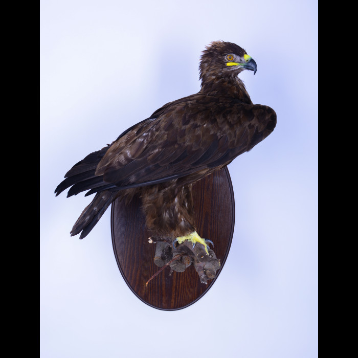 Steppe eagle Taxidermy Mount For Sale