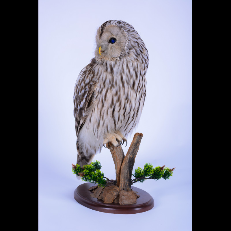 Ural Owl Taxidermy Mount For Sale