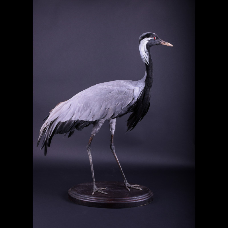 Demoiselle Crane Taxidermy Mount For Sale