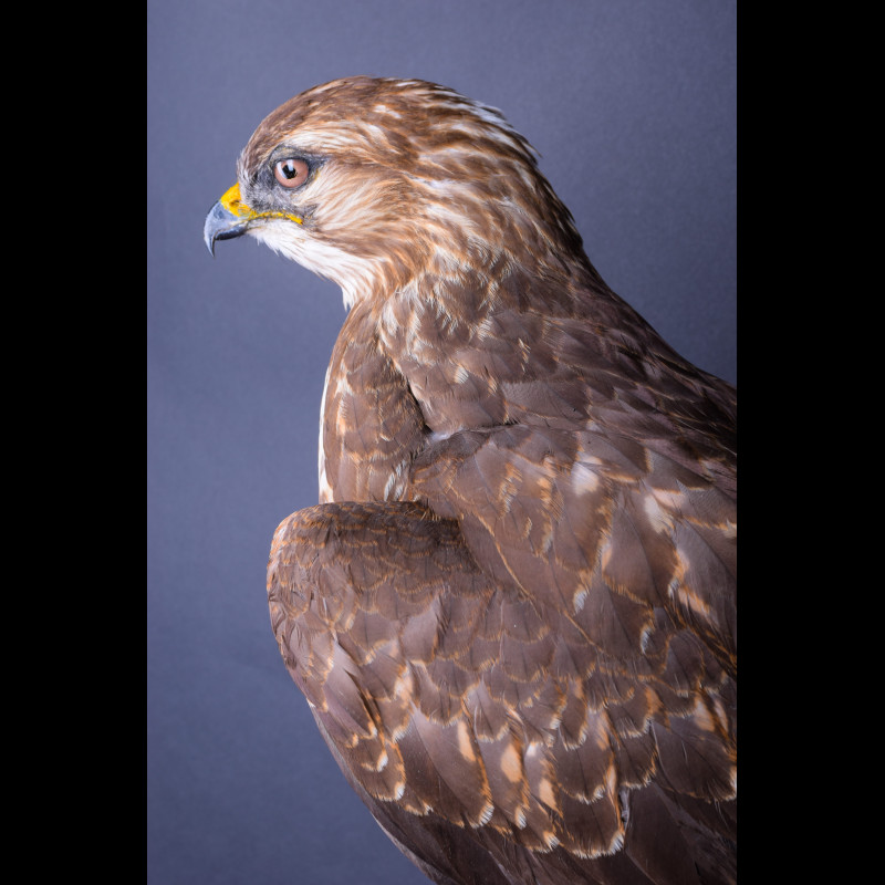 Sparrowhawk Taxidermy Mount For Sale