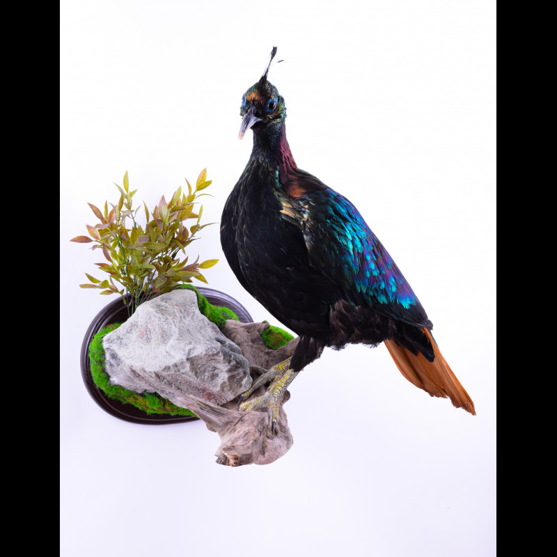 Impeyan monal Taxidermy Mount For Sale