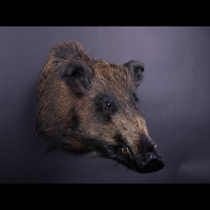 Wild Boar Head Taxidermy Mount For Sale