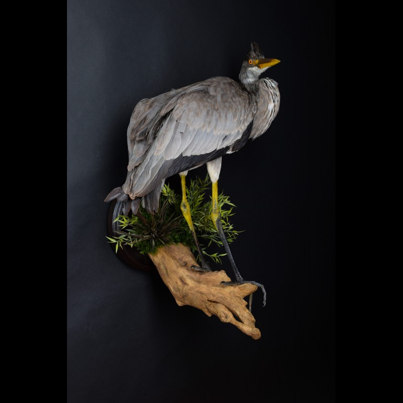 Gray Heron Egret Taxidermy Mount For Sale