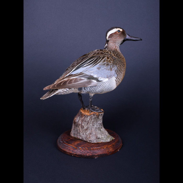 Garganey Duck Goose Taxidermy Mount For Sale