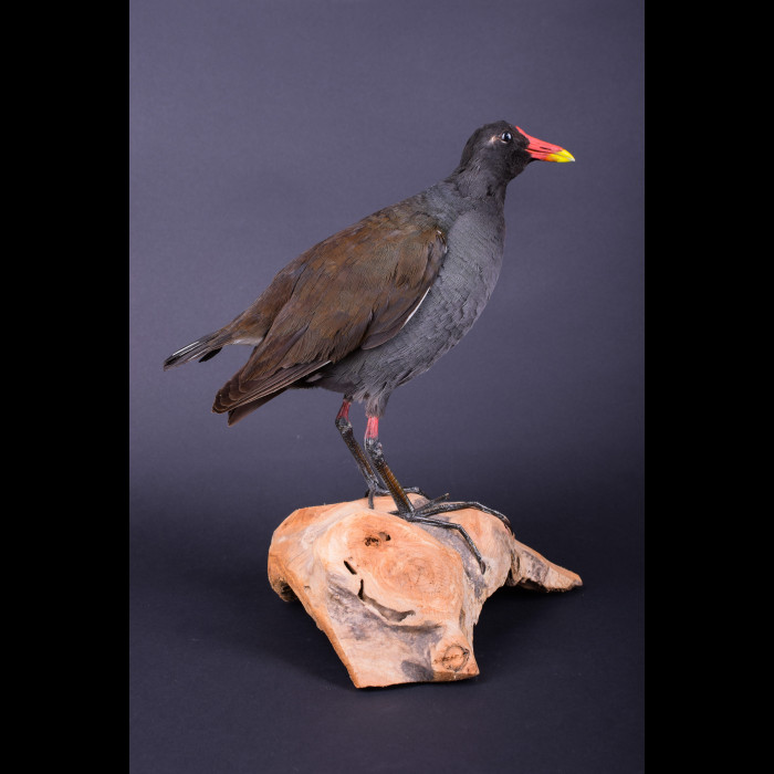 Moorhen Duck Taxidermy Mount For Sale