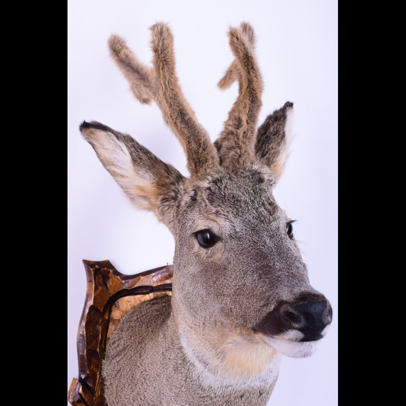 Roe deer Taxidermy Mount For Sale
