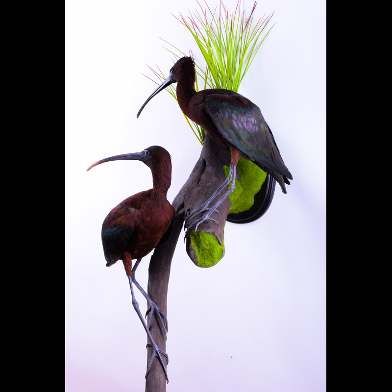 Glossy ibis Pair Taxidermy Mount For Sale
