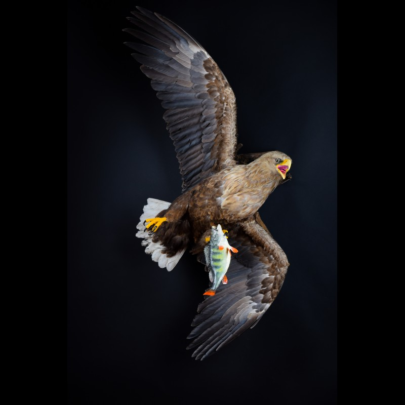 White-tailed eagle with fish Taxidermy Mount For Sale