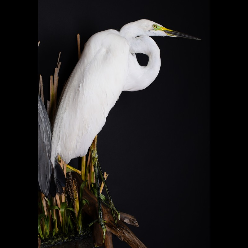 Gray Heron & Great Egret Taxidermy Mount For Sale