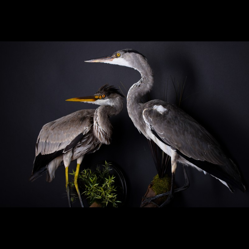 Pair Gray Heron Egret Taxidermy Mount For Sale