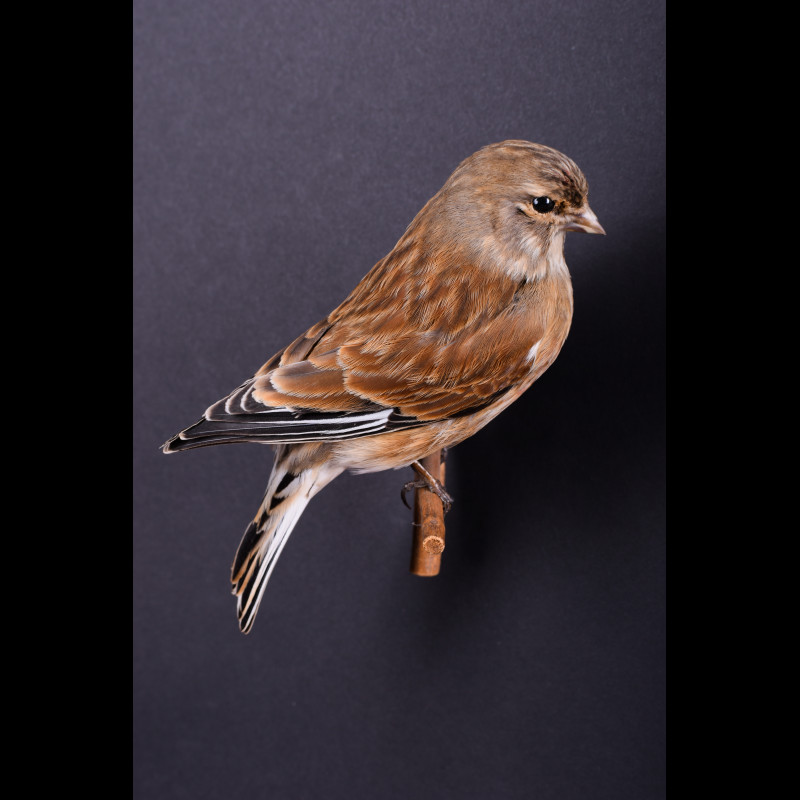 Linnet Taxidermy Mount For Sale