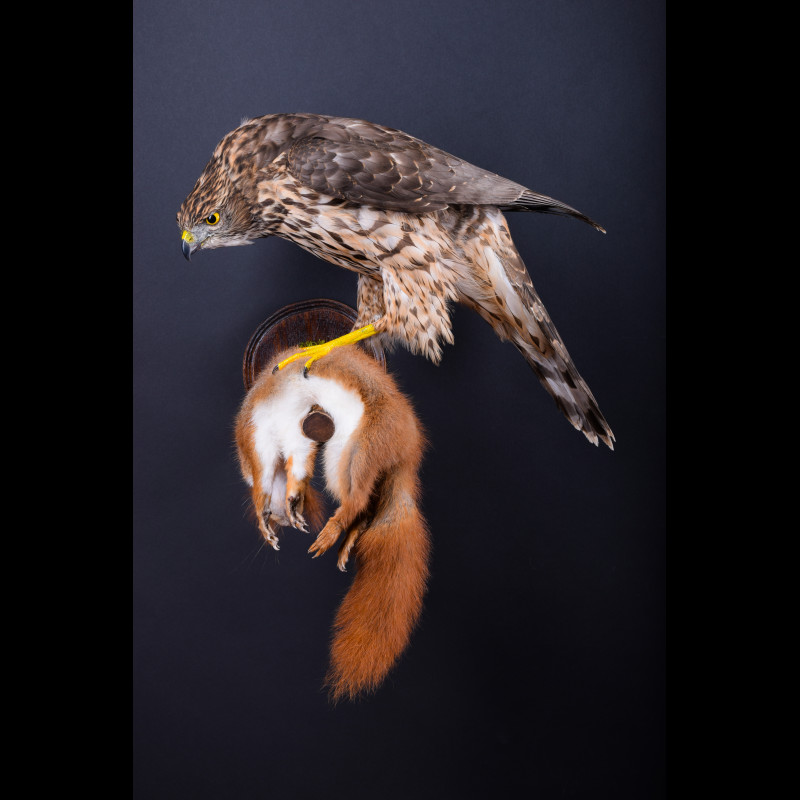 Sparrowhawk with squirrel Taxidermy Mount For Sale