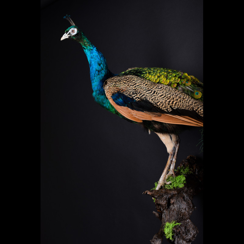 Peafowl Taxidermy Mount For Sale