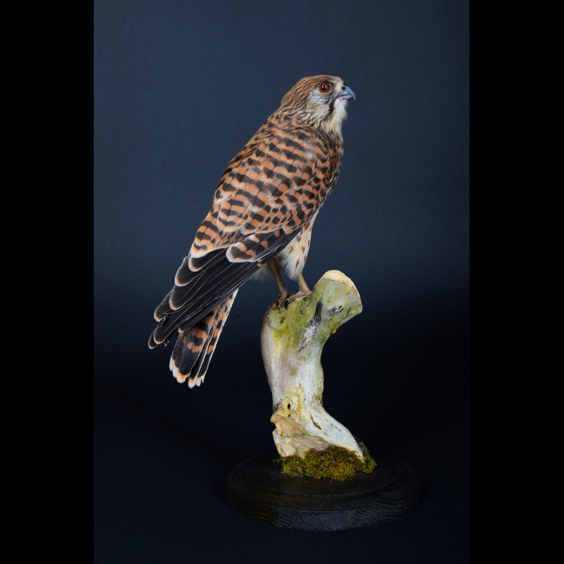 Kestrel Falcon Taxidermy Mount For Sale