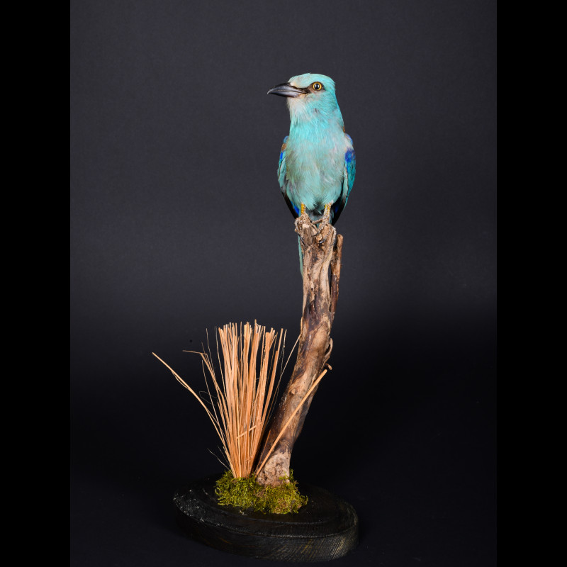 Roller Taxidermy Mount For Sale