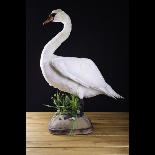 Swan Taxidermy Mount For Sale