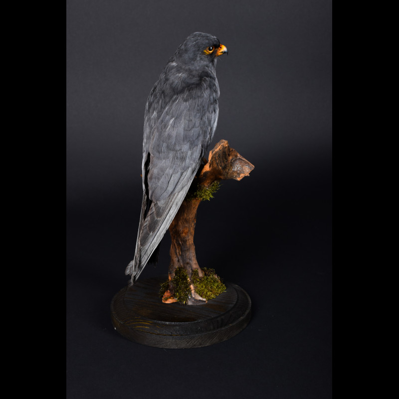 Red-footed falcon Taxidermy Mount For Sale