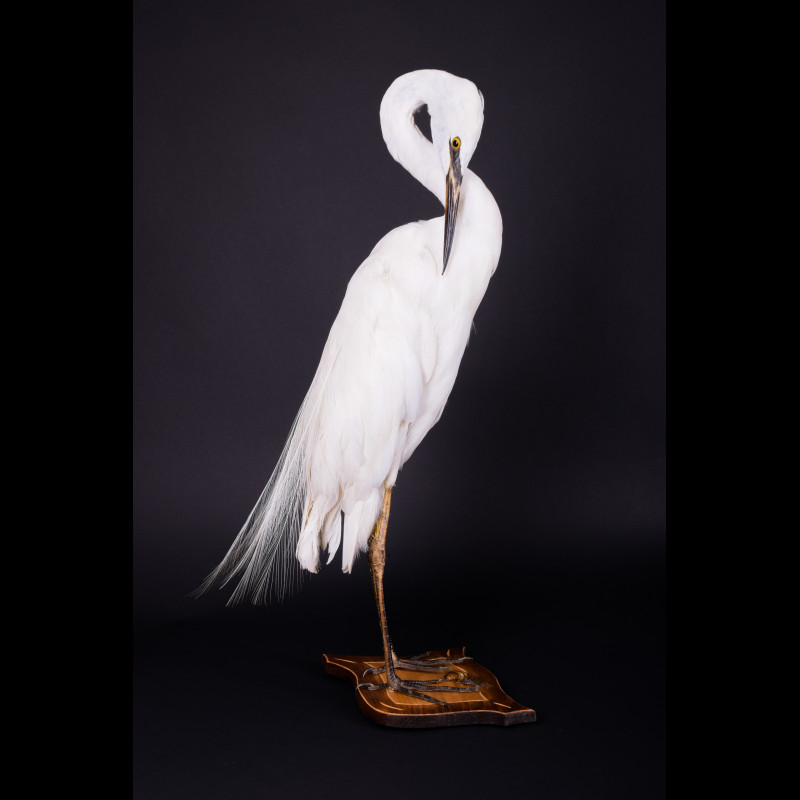 Heron Egret Taxidermy Mount For Sale
