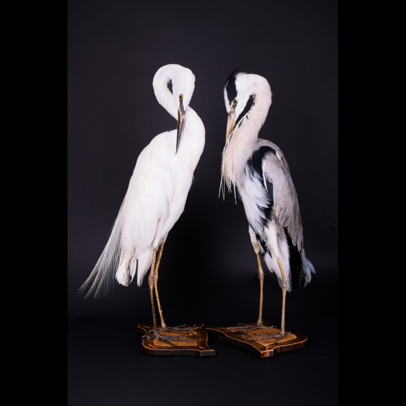 Gray Heron & Yellow-billed Egret Taxidermy Mount For Sale