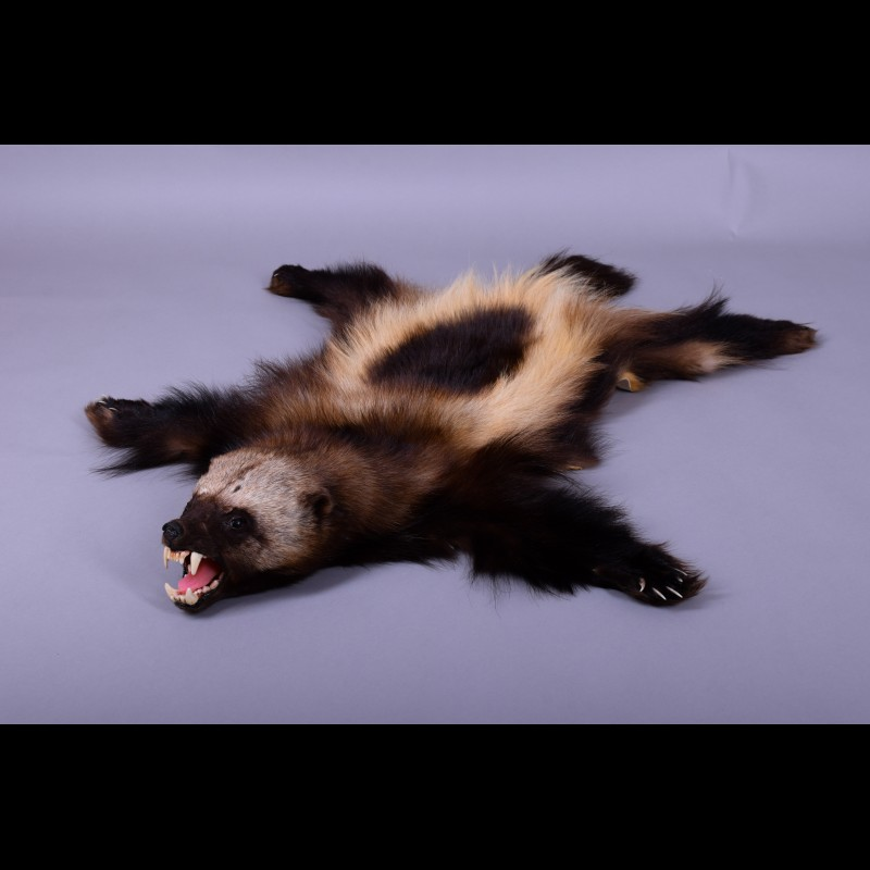 Wolverine  Taxidermy Mount For Sale