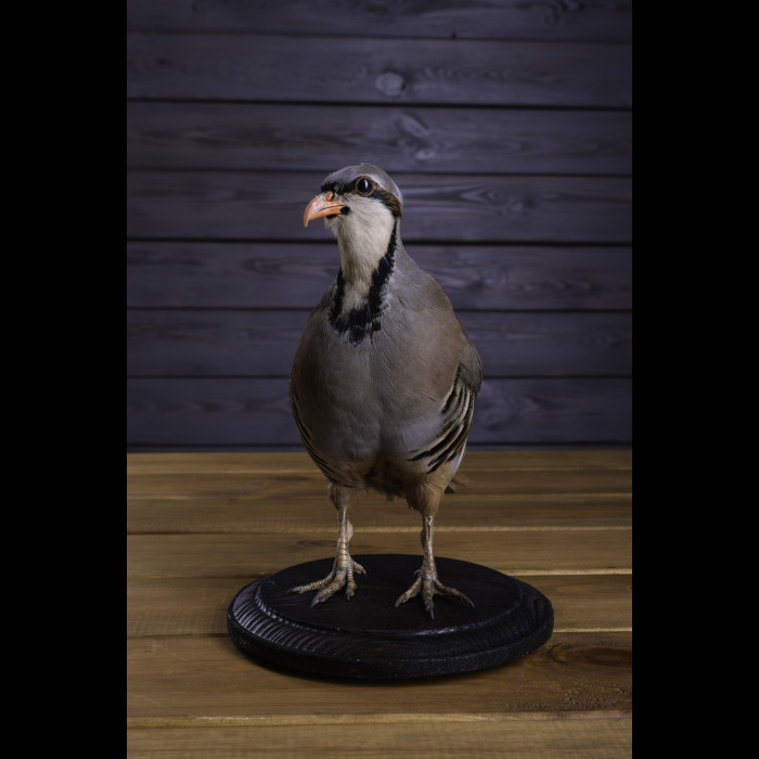 Rock Partridge Taxidermy Mount For Sale