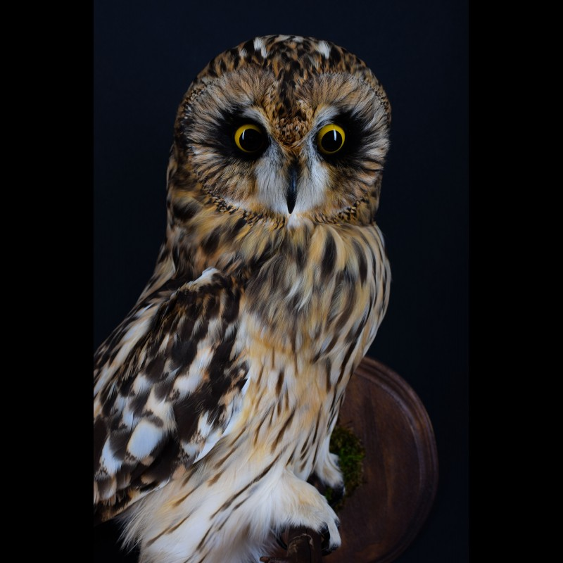 Short-eared Owl Taxidermy Mount For Sale