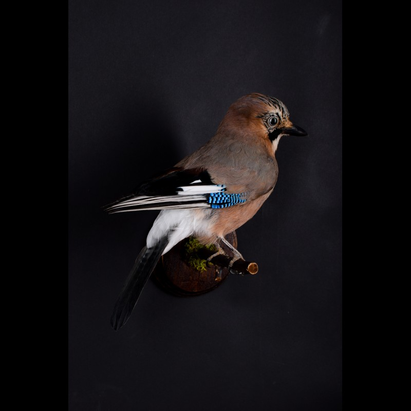 Jay Taxidermy Mount For Sale