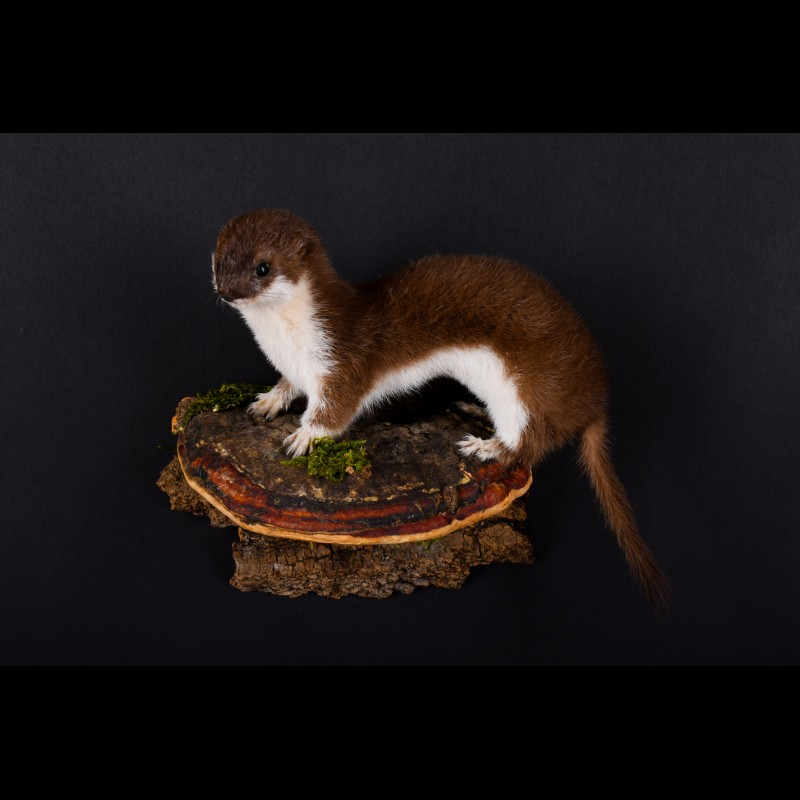 Least weasel Taxidermy Mount For Sale
