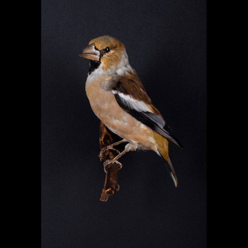 Hawfinch  Taxidermy Mount For Sale