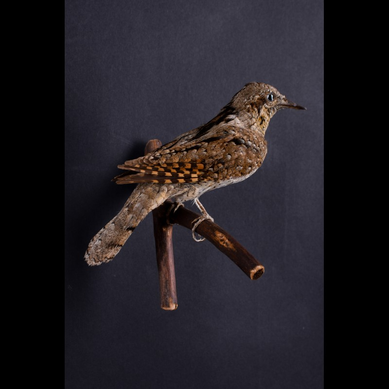 Wryneck Taxidermy Mount For Sale