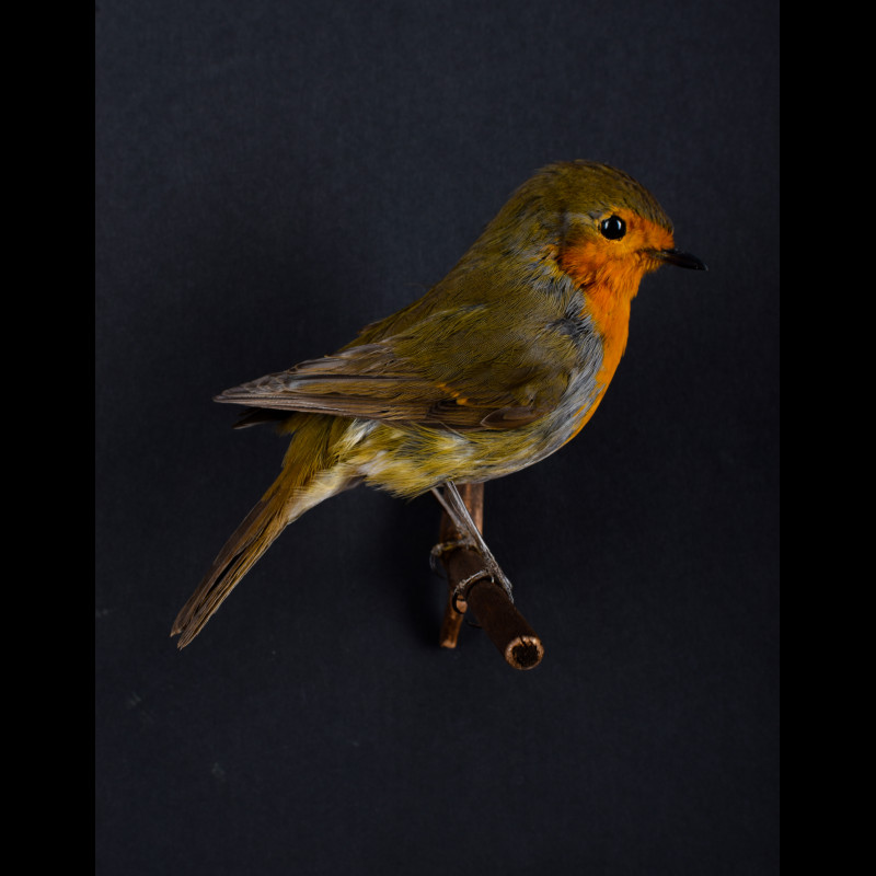 Robin redbreast Taxidermy Mount For Sale
