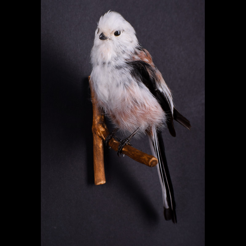 Long-tailed tit Taxidermy Mount For Sale
