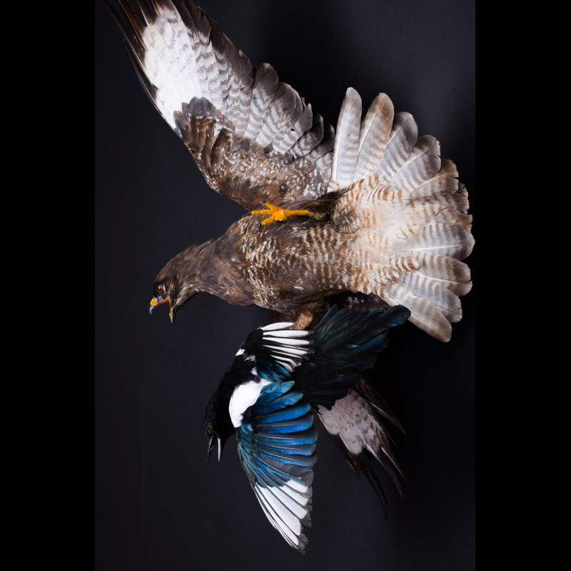 Buzzard with magpie Taxidermy Mount For Sale