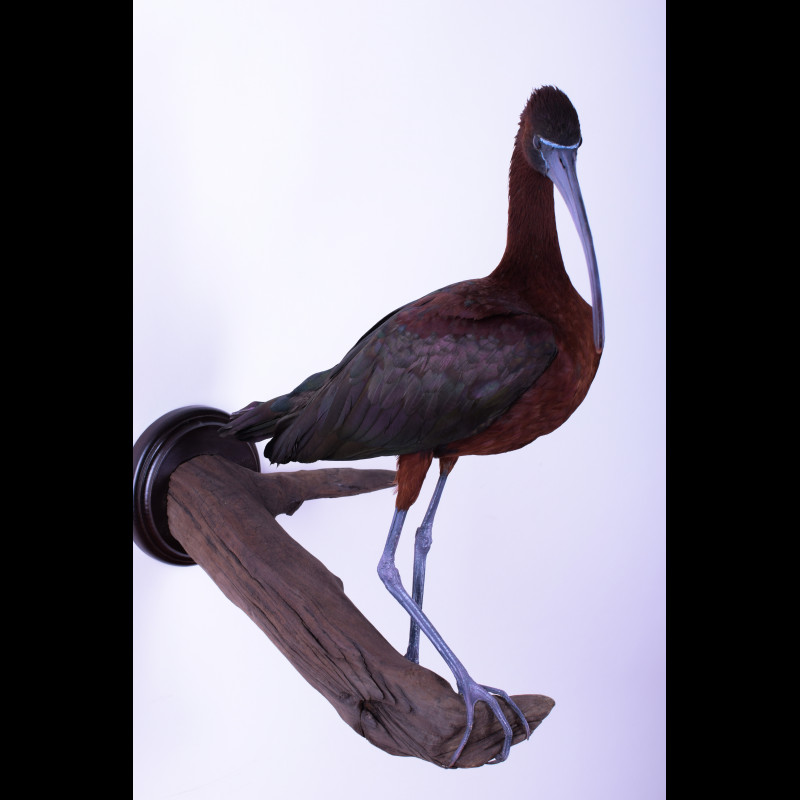 Glossy ibis Taxidermy Mount For Sale