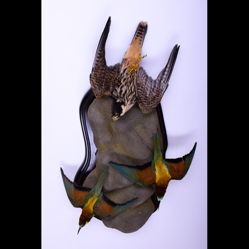 Peregrine Falcon with two bee-eats Taxidermy Mount For Sale