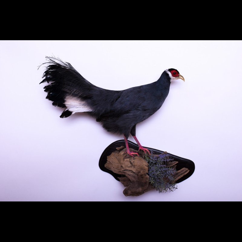 Blue eared pheasant Taxidermy Mount For Sale