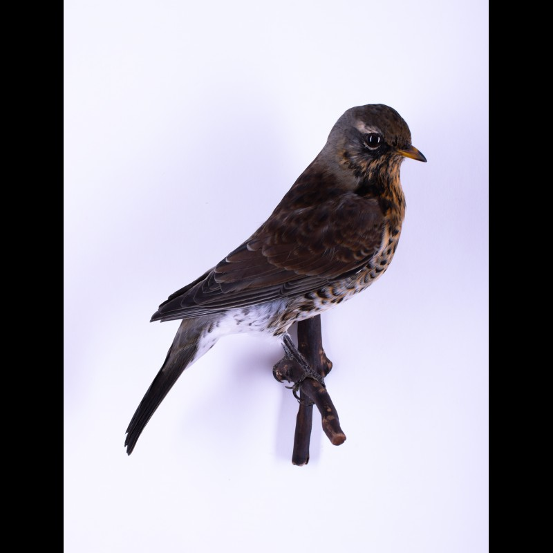 Mistle thrush Taxidermy Mount For Sale