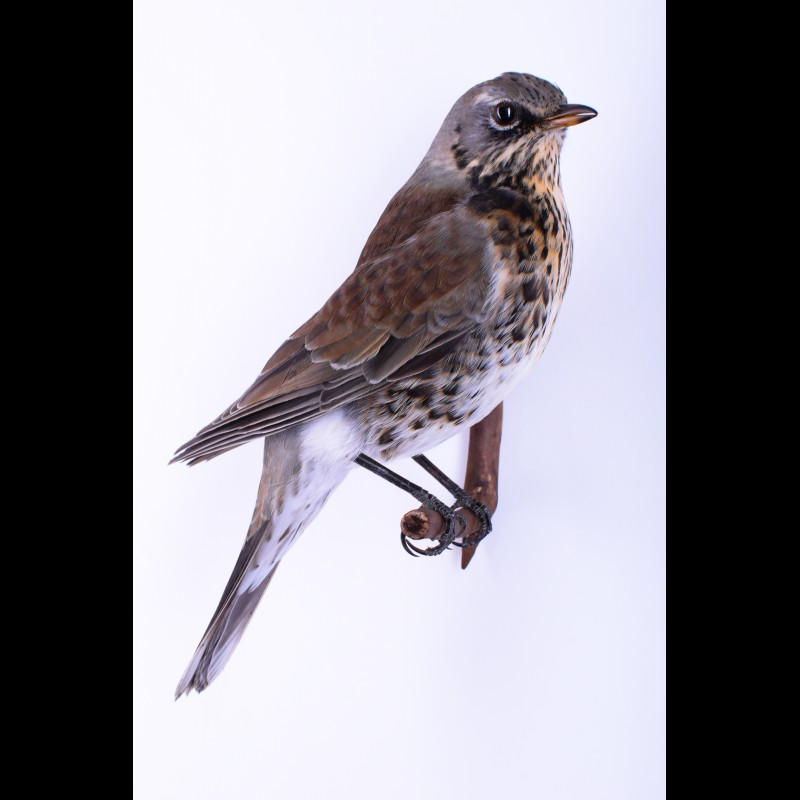 Fieldfare Taxidermy Mount For Sale