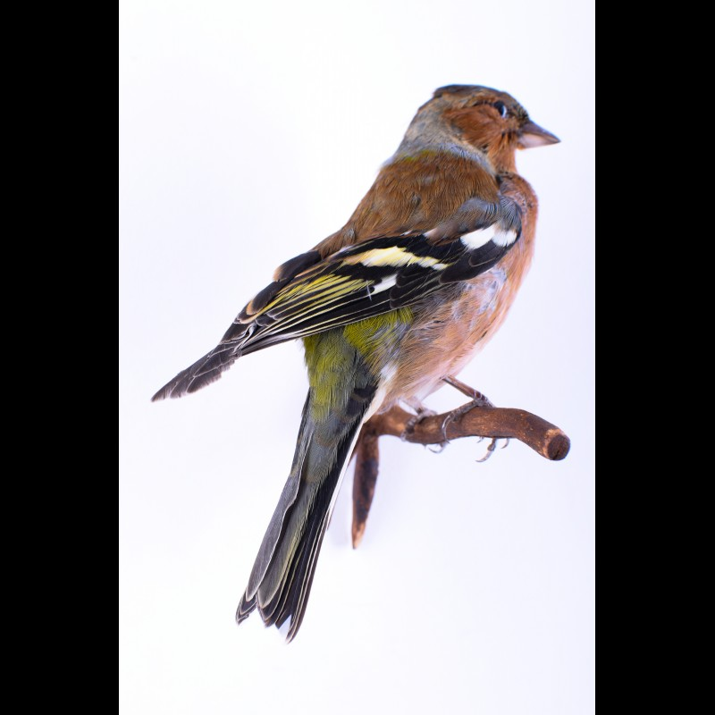 Chaffinch Taxidermy Mount For Sale