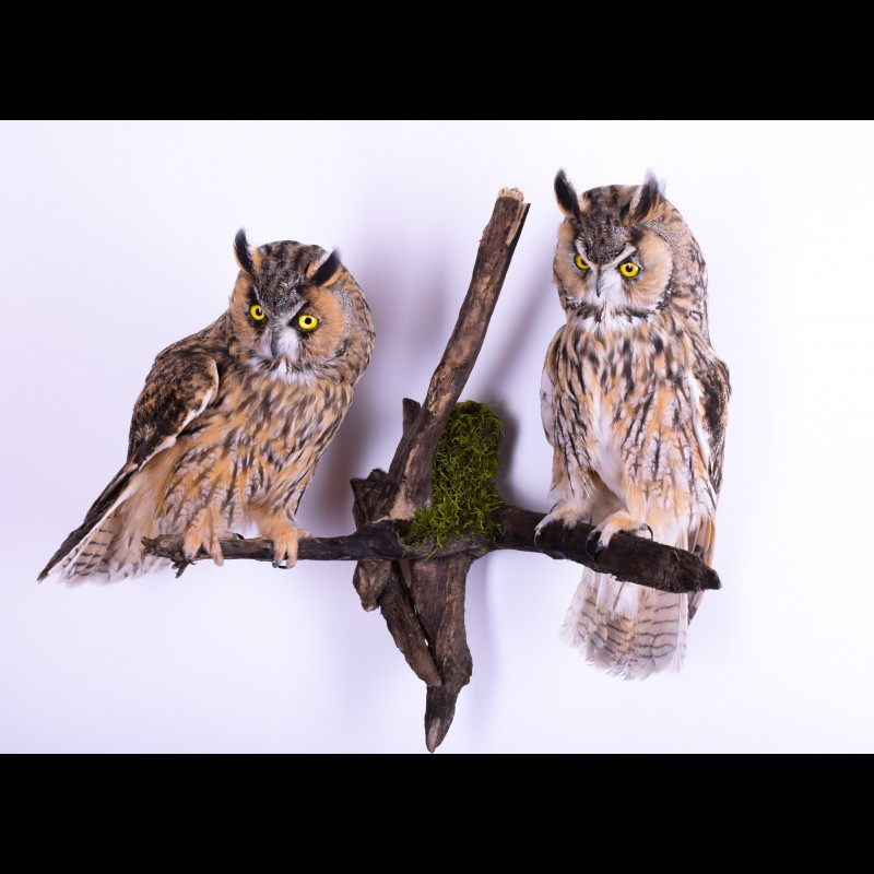 Pair Long-eared owl Taxidermy Mount For Sale